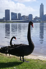 Beautiful Black Swans on the scenic Swan River